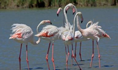 Flamingo's in het natuurpark 'Narbonnaise et Méditerranée'