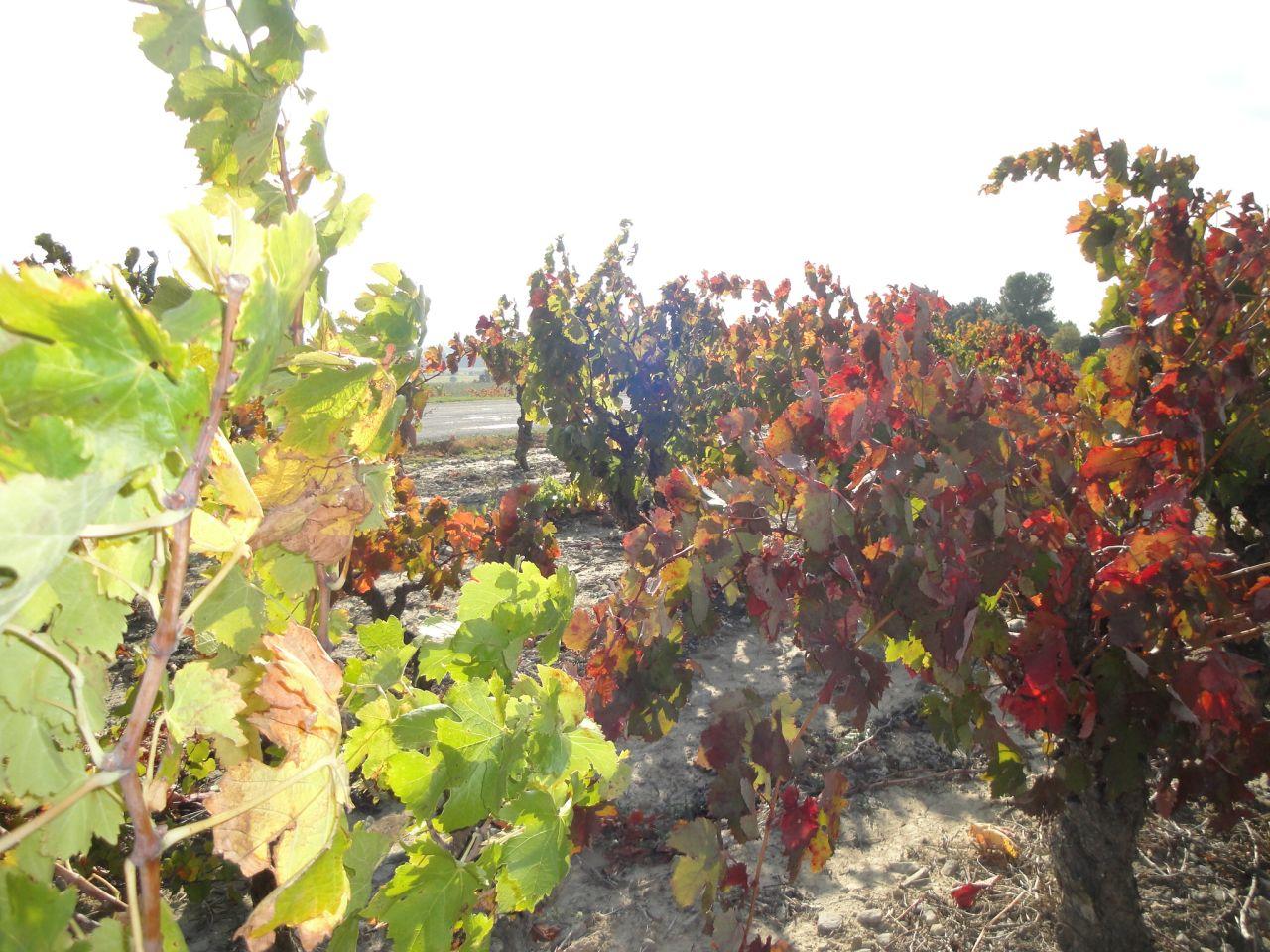 Herfstkleuren-wijngaarden-Beaufort