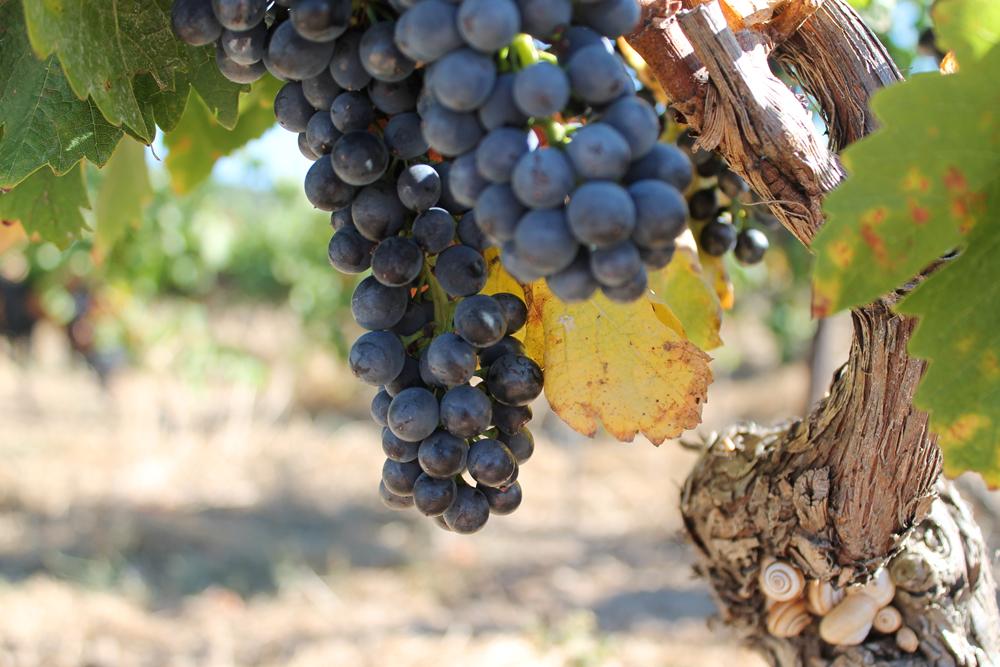 rijpe-druiven-Beaufort